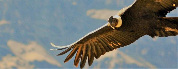 Warum der Kondor einen kahlen Kopf hat
